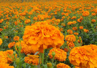 The Effect and Function of Marigold Extract Lutein