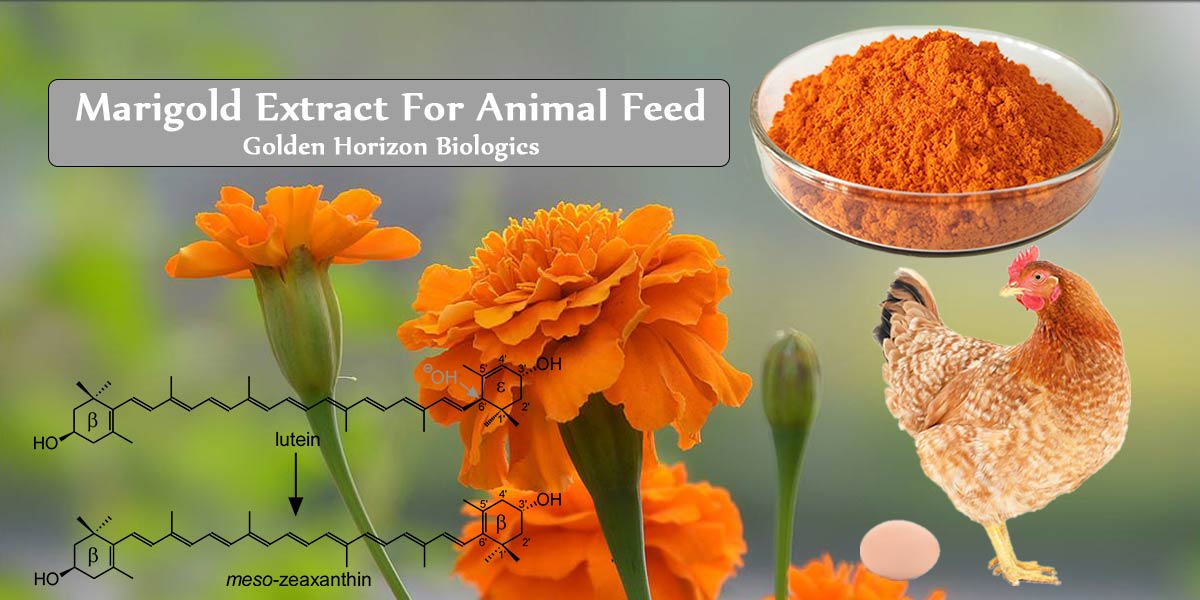 Marigold extract for animal feed