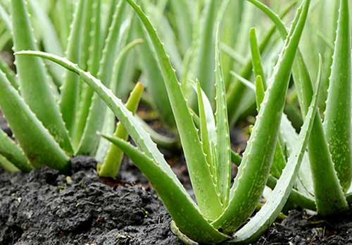 China Aloe Extract Industry Overview 2017-2021 - Research and Markets